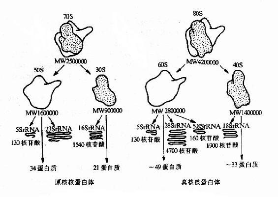 原核生物与真核生物核蛋白体的结构比较