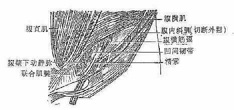 左腹股沟区解剖层次(前面观)