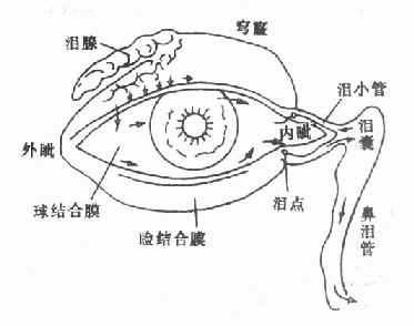 眼结膜囊及泪器,箭头示泪液之分泌及其排泄
