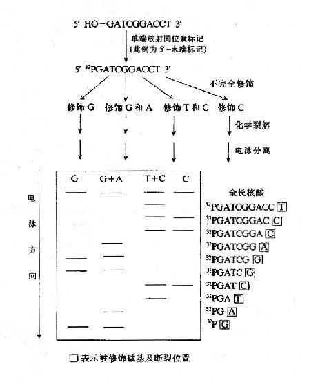 化学裂解法测定DNA的核苷酸序列