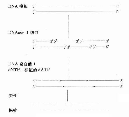 DNA随机引物标记法