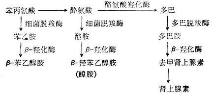 肾上脉素与假性神经递质形成过程示意图