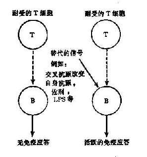 T细胞旁路活化机制