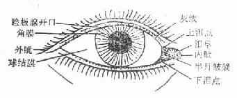 眼睑示意图