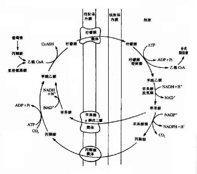 柠檬酸-丙酮酸循环