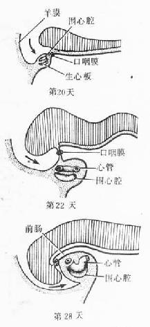 原始心脏的位置变化 (人胚头部纵切)