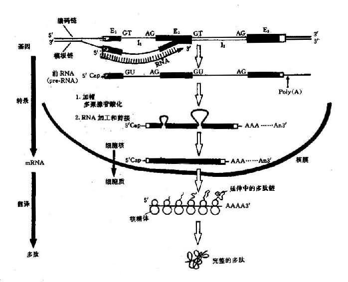 真核生物结构基因表达(DNA→RNA→蛋白质)流程图