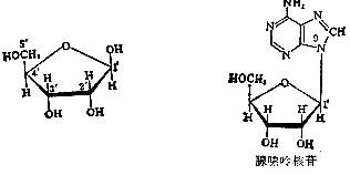 核糖(左)与核苷(右,腺苷)的化学结构