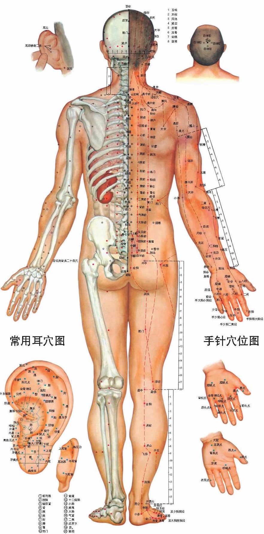 人體穴位圖正面圖