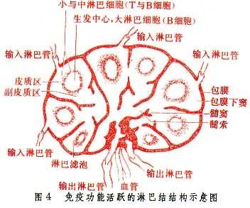 免疫功能活跃的淋巴结构示意图
