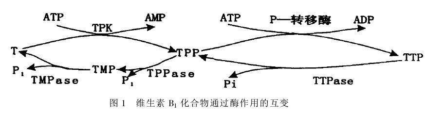 维生素B1转化图.jpg
