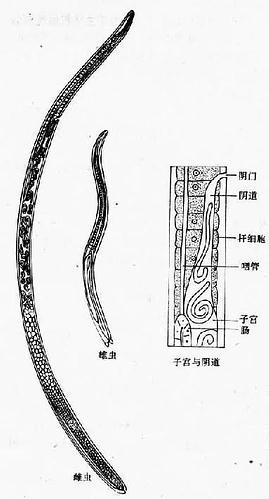旋毛虫成虫