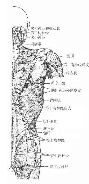 背部身体结构_人体解剖学/项背部皮肤和浅筋膜-A+医学百科