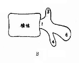 单个正常腰椎解剖侧位