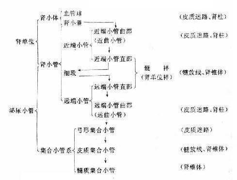 泌尿小管组成和各段的位置