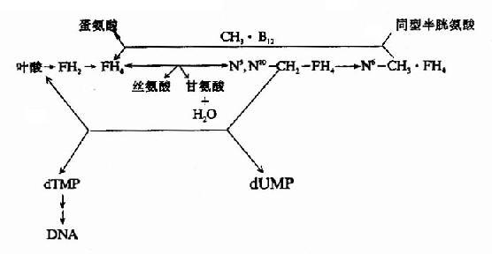 维生素B12和叶酸代谢以及与DNA合成的关系