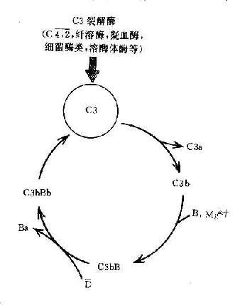 C3b的正反馈途径