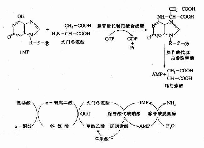 腺嘌呤核苷酸循环