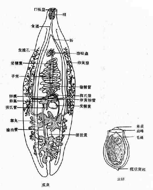 华支睾吸虫成虫与虫卵
