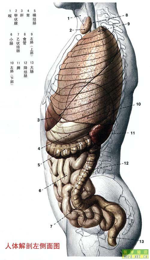 人体解剖左侧面图