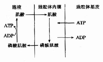 磷酸肌酸的生成与利用