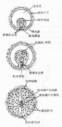 视柄横切示视神经的发生