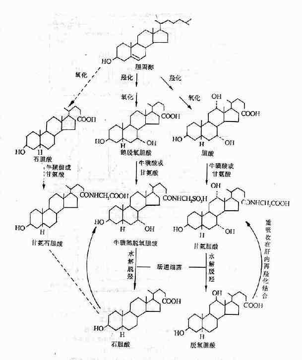 胆汁酸的生成和肝肠循环