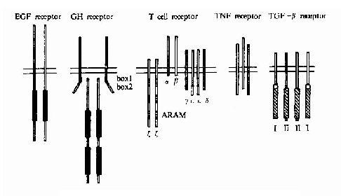 各类单次跨膜受体的代表性举例