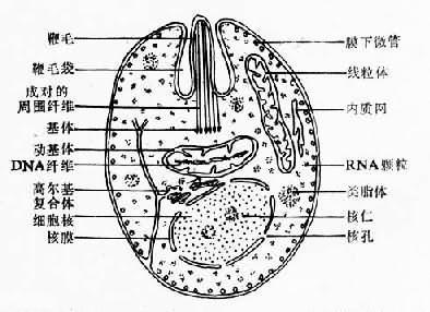 杜氏利什曼原虫无鞭体超微结构模式图