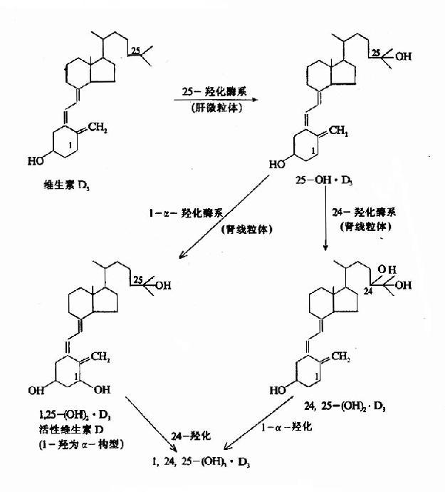 维生素D3的代谢