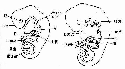 原始消化管的早期演变