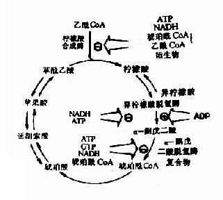 三羧酸循环的抑制剂和激活剂