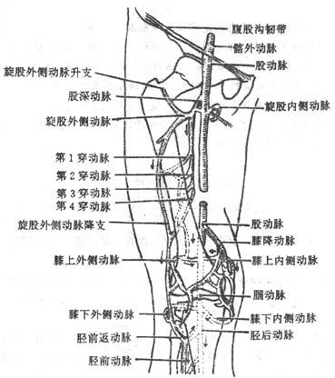 膝关节周围动脉网