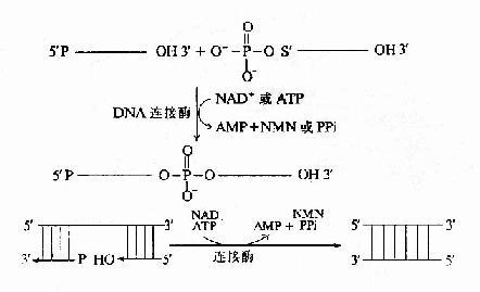 连接酶的催化反应