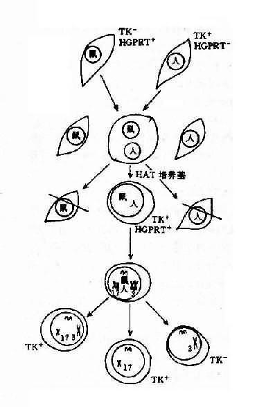 体细胞杂交基因定位示意图