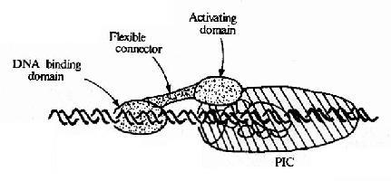 转录因子与转录复合体相互作用模式图