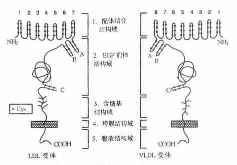 LDL受体与VLDL受体结构示意图