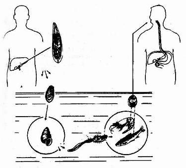 肝吸虫发育过程与传播