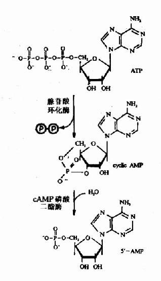 CAMP的结构和代谢