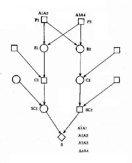 二级表兄妹婚配中基因传递图解