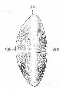 晶状体侧面部