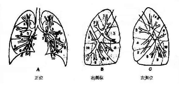 支气管分支与肺段