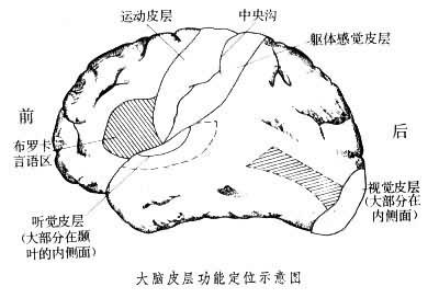 大腦皮層功能定位示意圖