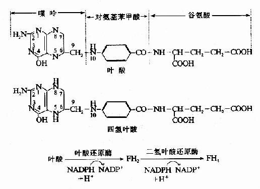 四氫葉酸的生成
