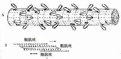 平滑肌粗肌丝结构模式图