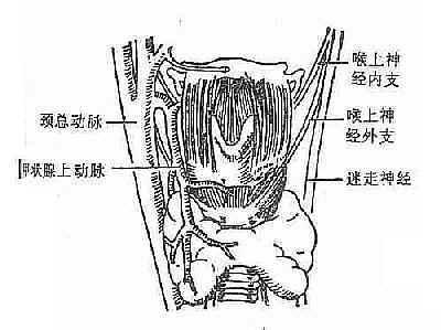甲状腺上动脉与喉上神经的解剖关系(前面观)
