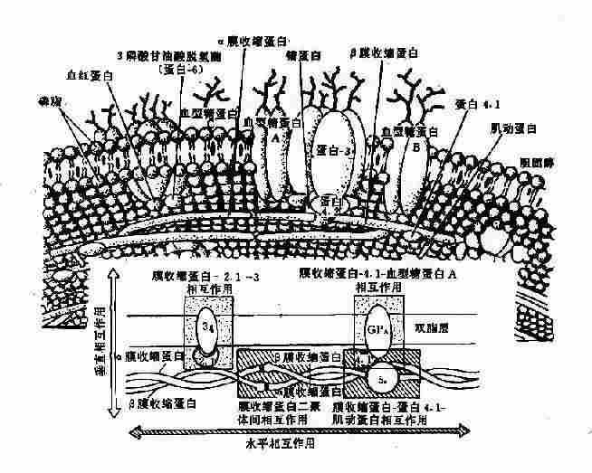 红细胞膜的结构示意图