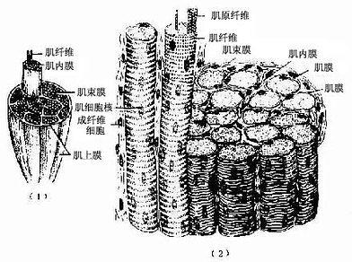 骨骼肌与周围结缔组织膜
