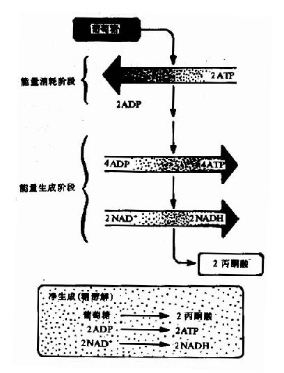 葡萄糖分解的两个阶段