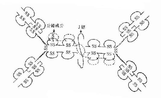 分泌型IgA结构示意图